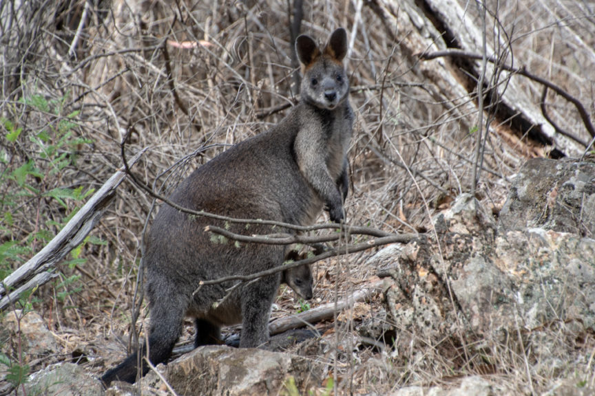 Blowering Dam Wallaby