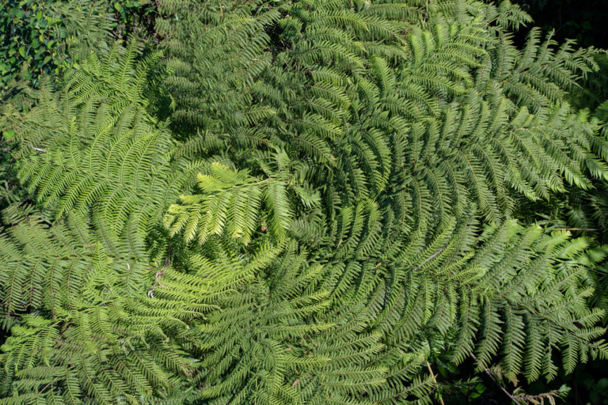 Sealy Lookout Ferns