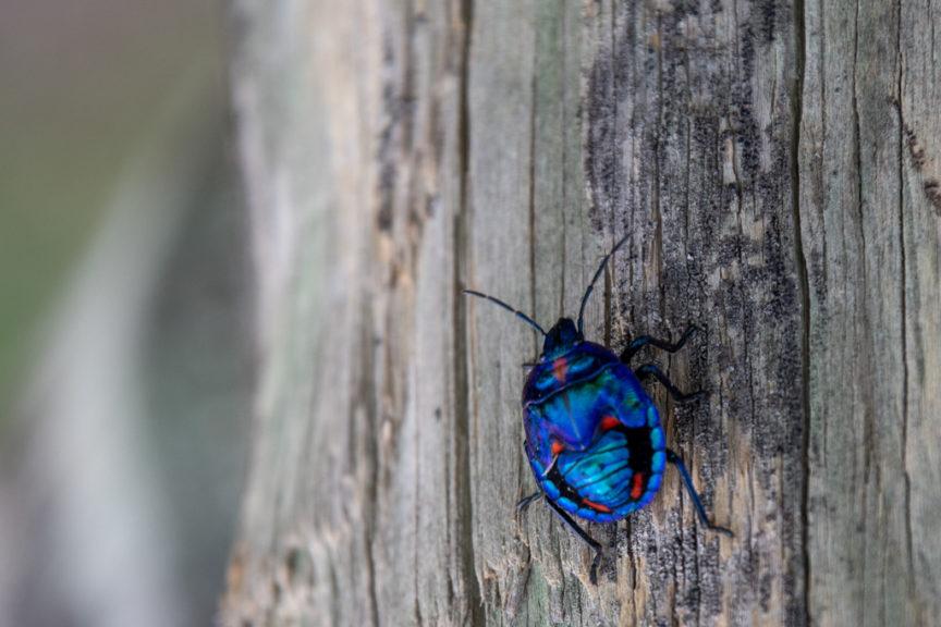 Red Rock Headland bug