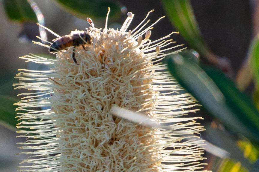Banksia - Lake Conjola