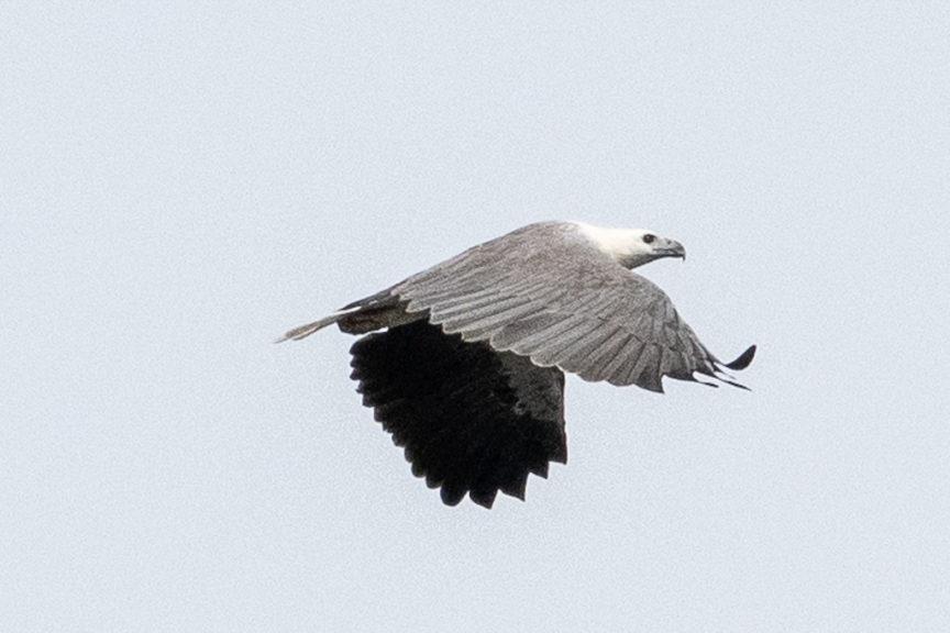 Mallacoota Sea Eagle