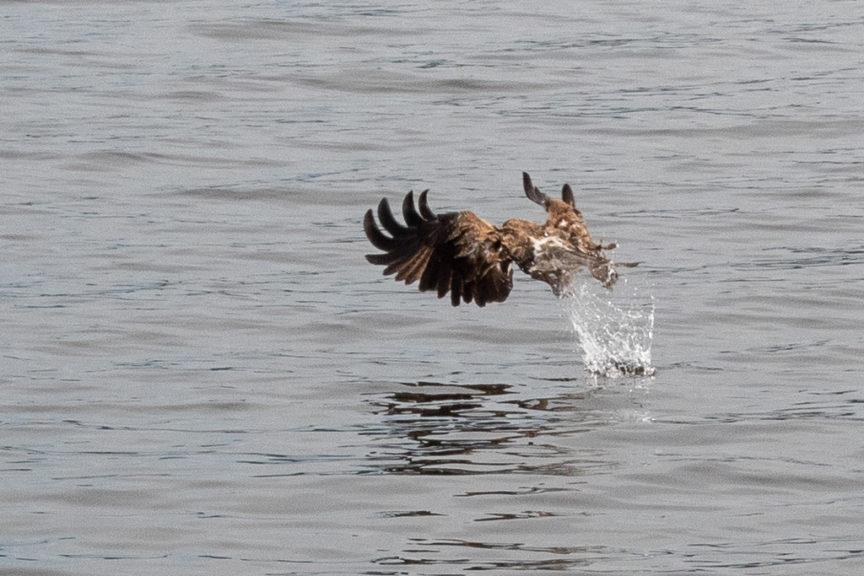Mallacoota Kite - taking a feed