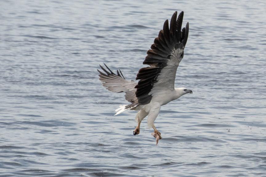 Mallacoota Sea Eagle with food