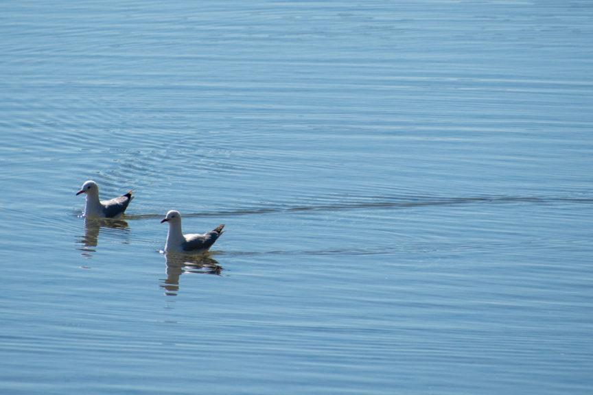 Narrawallee seagulls