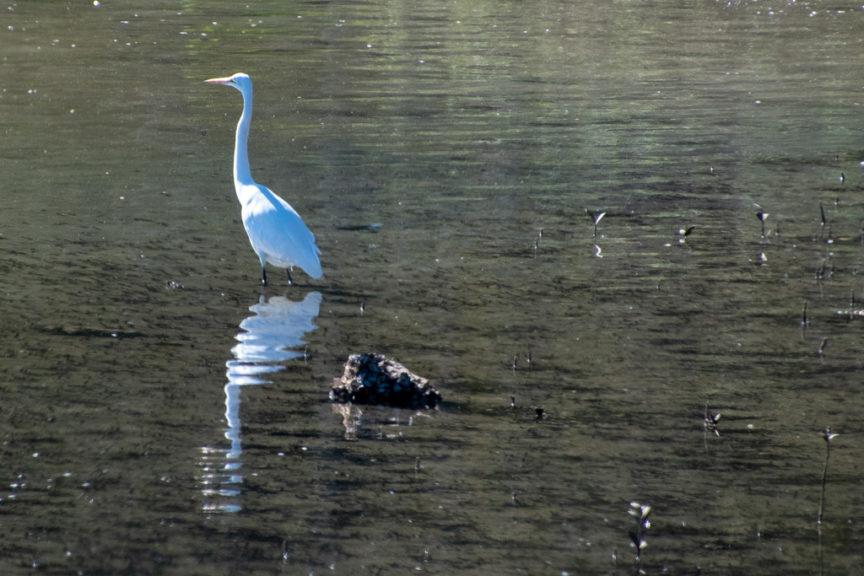 Narrawallee white heron