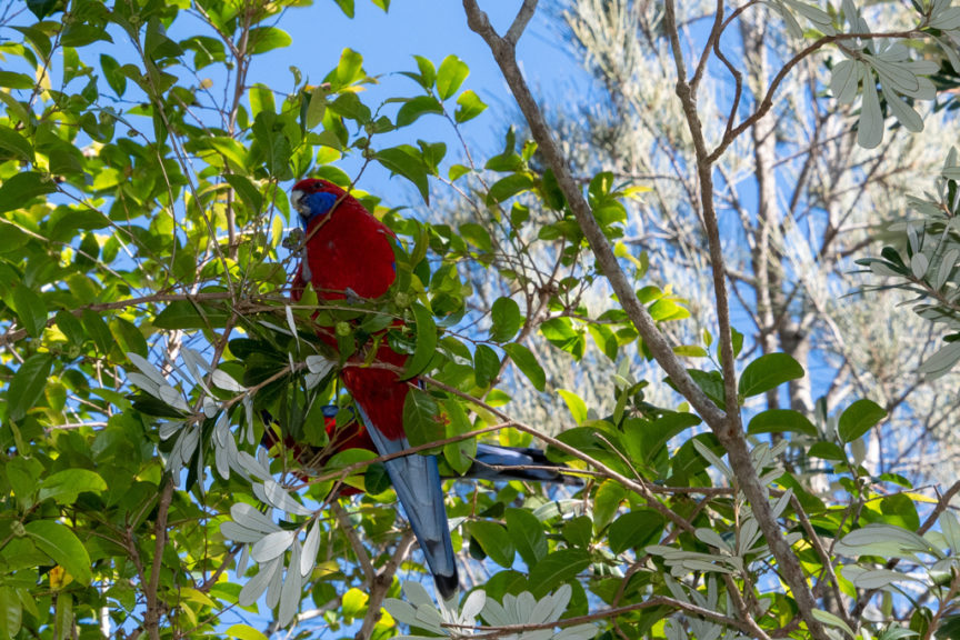 Narrawallee King Parrot