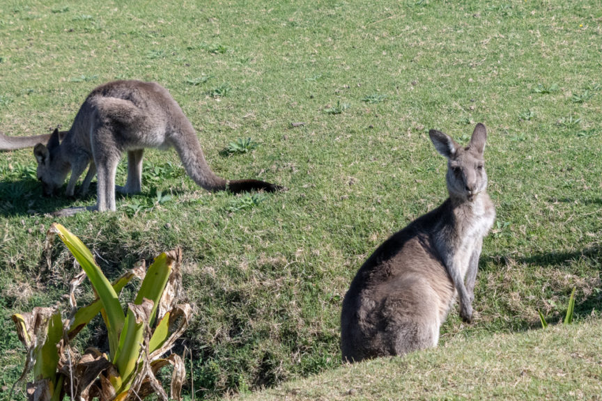 Pebbly Beach roos