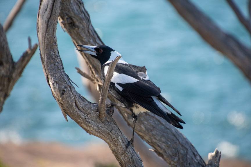 Warbling magpie - Fishermans Bay