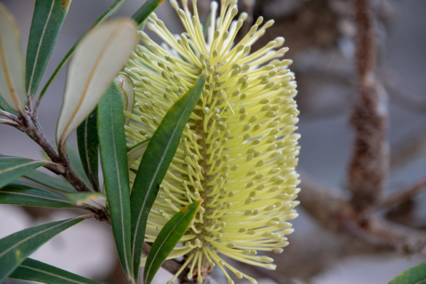 Banksia - Lobster Jacks Beach